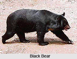 Black Bear, Indian Animal