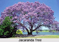 Jacaranda Tree, Indian Trees