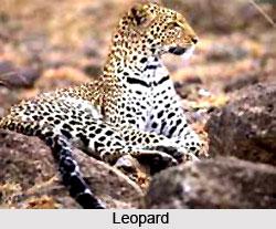 Leopard, Indian Animal