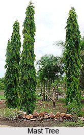 Mast Tree , Indian Trees