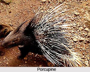 Porcupine, Indian Animals