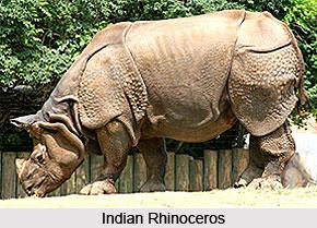 Rhinoceros, Indian Animal