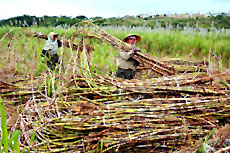 Deoria, Uttar Pradesh produces sugarcane