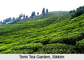 Temi, Sikkim, West Bengal