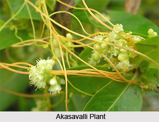 Akasavalli, Indian Medicinal Plants
