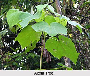 Akola, Indian Medicinal Plant
