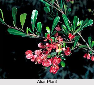 Aliar, Indian Medicinal Plants