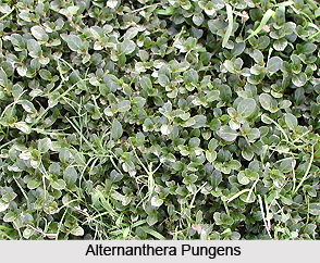 Alternanthera pungens H.B.K, Indian Medicinal Plants