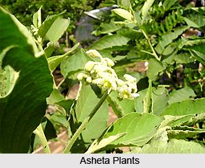Asheta, Indian Medicinal Plant