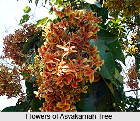 Asvakarnah, Indian Medicinal Plant