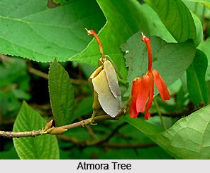 Atmora, Indian Medicinal Plant