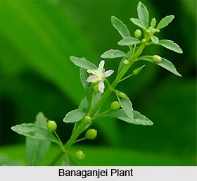 Banaganjei, Indian Medicinal Plant