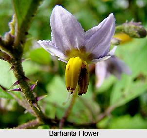Barhanta, Indian Medicinal Plant