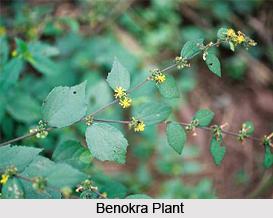 Benokra, Indian Medicinal Plant