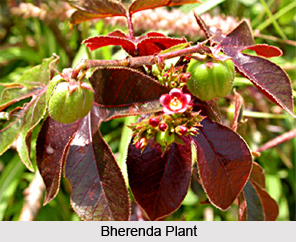 Bherenda, Indian Medicinal Plants