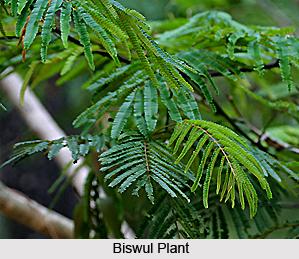 Biswul, Val-likhadira, Indian Medicinal Plant