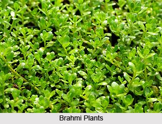 Brahmi, Indian Medicinal Plant
