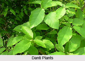Danti, Indian Medicinal Plant