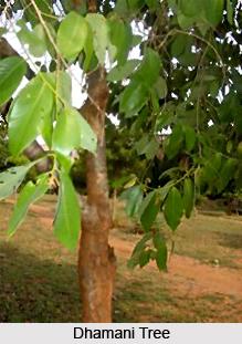 Dhamani, Indian Medicinal Plant