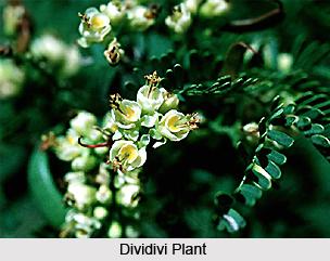 Dividivi Plant, Indian Medicinial Plant