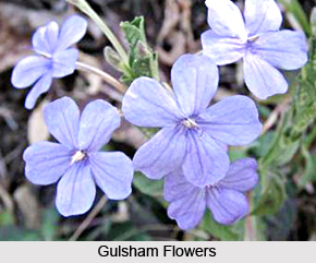 Gulsham, Indian Medicinal Plant