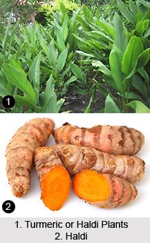 Haldi, Turmeric, Indian Medicinal Plant