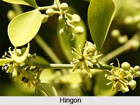 Hingon, Indian Medicinal Plant