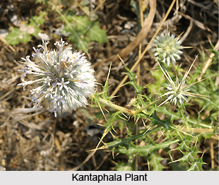 Kantaphala , Indian Medicinal Plant