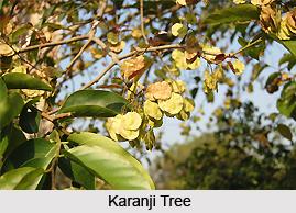 Karanji, Indian Medicinal Plant