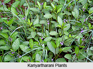 Kariyartharani, Indian Medicinal Plants