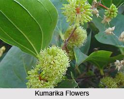 Kumarika, Indian Medicinal Plant