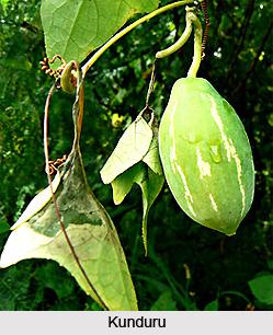 Kunduru, Indian Medicinal Plants