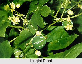 Lingini, Indian Medicinal Plants