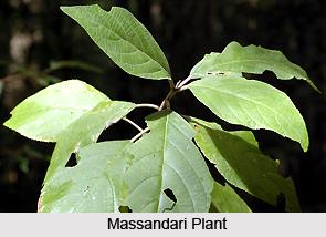 Massandari, Indian Medicinal Plant