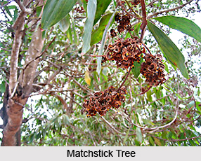 Matchstick Tree, Indian Medicinal Plants