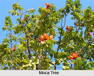 Moca, Indian Medicinal Plant
