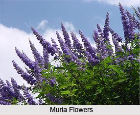 Muria, Indian Medicinal Plant