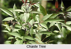 Nasinda, Chaste Tree, Indian Medicinal Plant