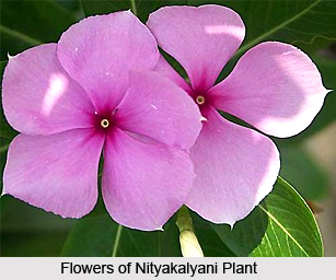 Nityakalyani, Indian Medicinal Plant