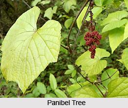 Panibel, Indian Medicinal Plant