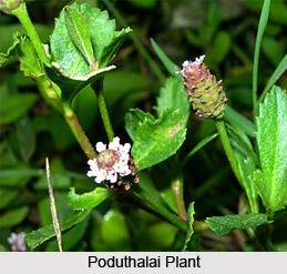Poduthalai, Indian Medicinal Plant