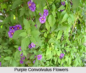 Purple Convolvulus, Indian Medicinal Plant