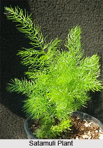 Satamuli, Indian Medicinal Plant