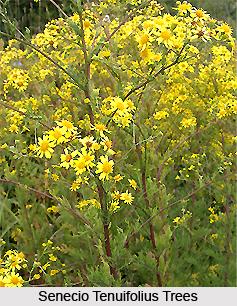 Senecio tenuifolius, Indian Medicinal Plant