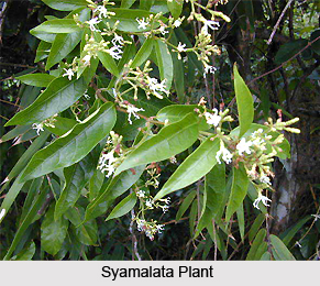 Syamalata Black Creeper Indian Medicinal Plant