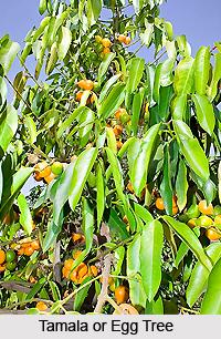 Tamala, Indian Medicinal Plant