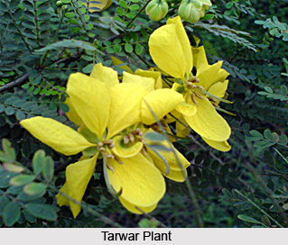 Tarwar, Indian Medicinal Plant
