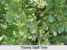 Thorny staff tree, Indian Medicinal Plant