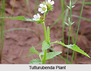 Tutturubenda, Indian Medicinal Plant