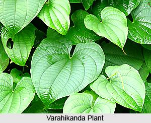 Varahikanda, Indian Medicinal Plant
